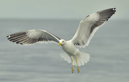 Kelp gull (Larus dominicanus), also known as the Dominican gull Stock Photography