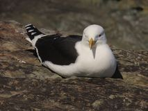 Kelp Gull. The kelp gull Larus dominicanus, also known as the Dominican gull, is a gull which breeds on coasts and islands through much of the southern royalty free stock image
