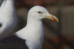 Kelp Gull Stock Image