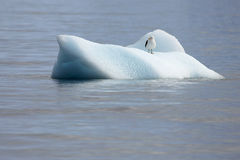 Kelp Gull, larus dominicanus, floating on ice floe, Antarctic ocean Royalty Free Stock Photos