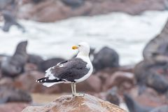 Kelp gull, Larus dominicanus, looking back at Cape Cross Royalty Free Stock Photography