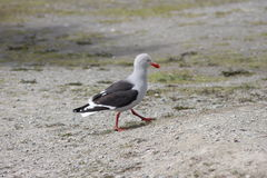 Kelp gull Larus dominicanus in patagonia Stock Photo