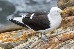 Kelp Gull. Larus dominicanus. South Africa, Tsitsikamma National Park Royalty Free Stock Photos