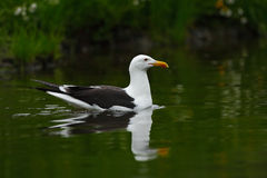 Kelp Gull, Larus dominicanus, water bird, Finland Royalty Free Stock Photo
