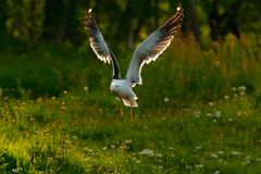 Kelp Gull, Larus dominicanus, water bird with open bill, Finland. Bird in fly with morning light. Wildlife scene from nature. Flyi Stock Photography