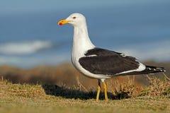 Kelp gull in natural habitat Stock Image