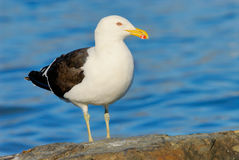 Kelp Gull in Patagonia. Kelp Gull (Larus dominicanus) juvenile Royalty Free Stock Photography