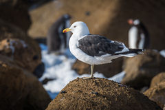 Kelp gull perched on rock in sunshine Royalty Free Stock Images
