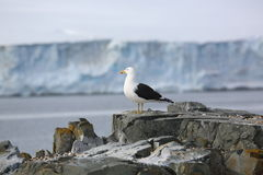 Kelp Gull on a rock in Antarctica Stock Photos