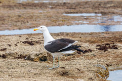 Kelp Gull on rocks Stock Photography