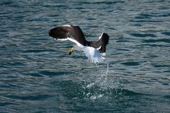 Cape Gull catching fish, Hout Bay, South Africa. Cape Gull catching fish, Hout Bay, Cape Peninsula, South Africa stock image