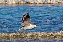 Kelp Gull taking off from beach stock photos
