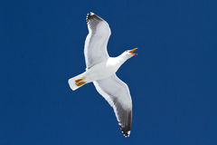 Kelp gull which flies in the sky and shouts Stock Images
