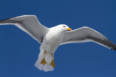 Kelp gull which hangs in the air wings spread Royalty Free Stock Photo