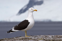 Kelp gull which stands on a rock Stock Photo