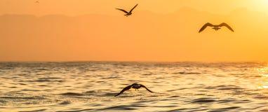 Kelp gull (Larus dominicanus) flying on sunset ocean background. Royalty Free Stock Image