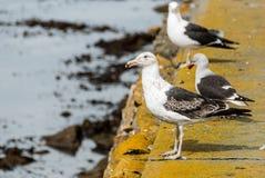 Kelp Gull (Larus dominicanus) standing, Falkland islands Stock Image