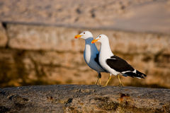 Kelp Gulls Stock Photography