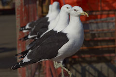 Kelp Gulls Royalty Free Stock Photography