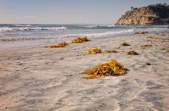 Kelp na plaży, Del Mącący Kalifornia zdjęcia royalty free