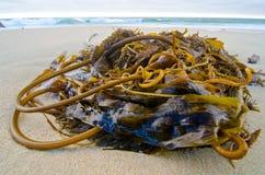 Kelp na plaży Zdjęcie Royalty Free