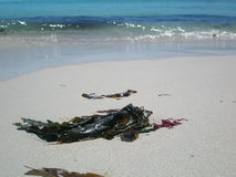 Kelp na praia imagens de stock