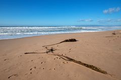 Kelp on beach between Pacific ocean and Santa Maria river at the Rancho Guadalupe Sand Dunes on central coast of California USA. Kelp on narrow strip of sand stock photos