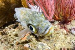 Kelp rockfish Stock Images