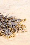 Kelp on sand Stock Image