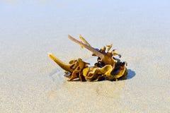 Kelp on sandy beach Stock Image