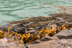 Kelp seaweed on rocks Stock Photo