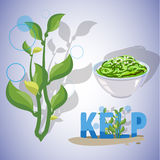 Kelp seaweeds -. Vector illustration of kelp seaweeds Stock Photos