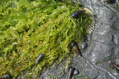 Kelp and snail Stock Image