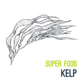 Kelp. Super food hand drawn sketch vector. Illustration Royalty Free Stock Photos