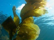 Kelp tegen Zonlicht Stock Foto
