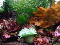 Kelp-Vielzahl mit Anemone Stockfotografie