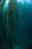 Kelp-Wachstum Stockfotos