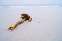 Kelp-Wurzel Stockbilder