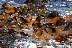 Kelp/Zeewier Royalty-vrije Stock Foto's