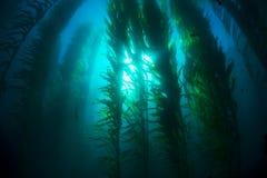 Kelpbed Royalty-vrije Stock Foto