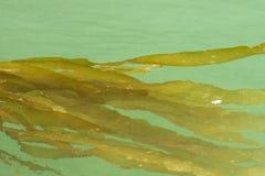 Kelpbundels Royalty-vrije Stock Foto's