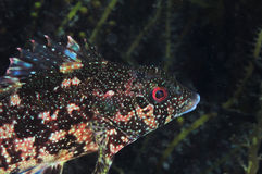 Kelpfish in darkness Royalty Free Stock Photography
