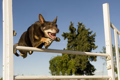 Kelpie in agility. Brown australian cattle dog jumping in a competition of agility stock photos