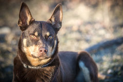Kelpie Stock Photo