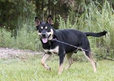 Kelpie cattledog, das Hundemischungshunderettungsfoto in Herden lebt lizenzfreies stockbild
