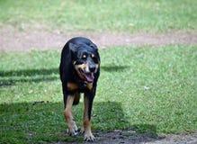 Kelpie dell'incrocio del cane del bestiame Fotografie Stock