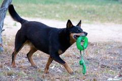 Kelpie Dog Playing. A Kelpie needs a balanced environment in which to develop satisfactorily. By this we mean that he needs stimulation by training and handling Royalty Free Stock Image