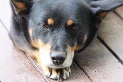 Kelpie Dog Resting Royalty Free Stock Photography