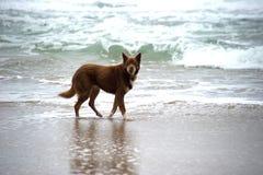 Kelpie-Hund Stockbilder