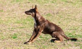 Kelpie purebred pies w profilu Obrazy Stock